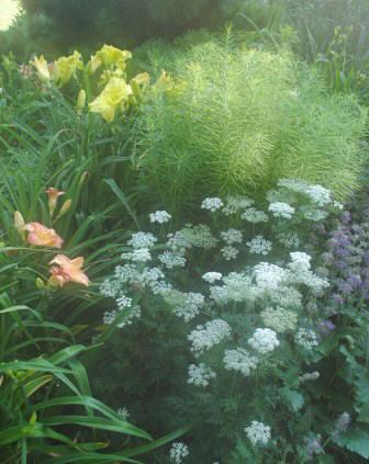 Selinum carvifolium