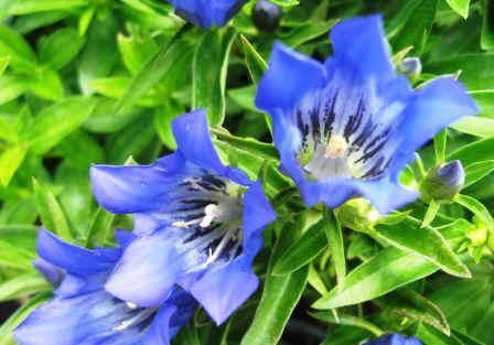 Gentiana 'True Blue'