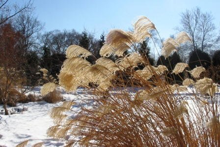 Miscanthus Plumes