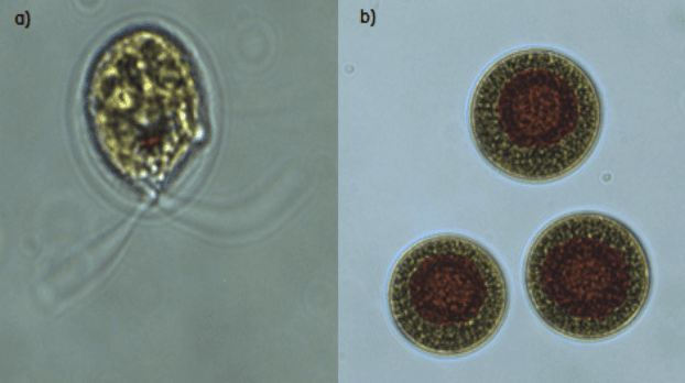 Microscope images of algae cells