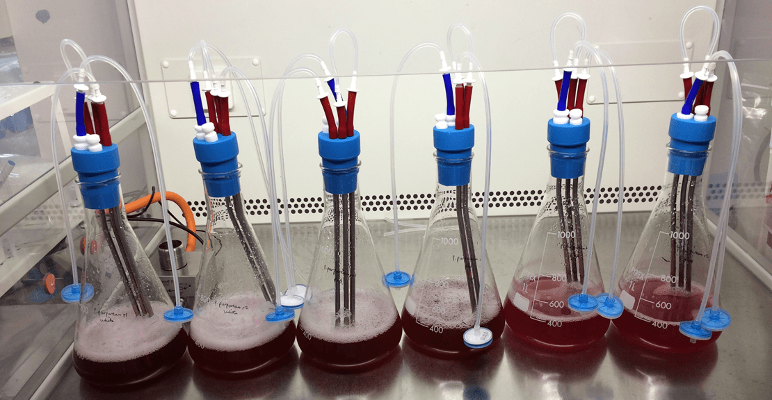 Six flasks of red algae cultures