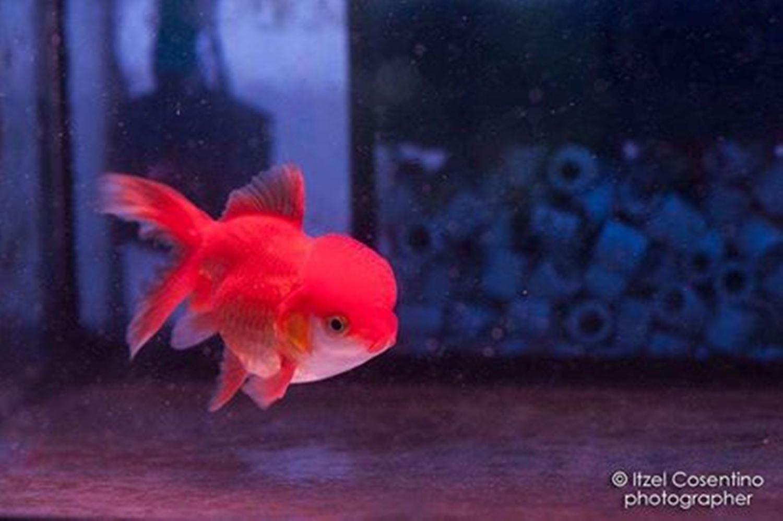 Oranda e koi rieti aquaria di alessio marchetti for Pesce oranda