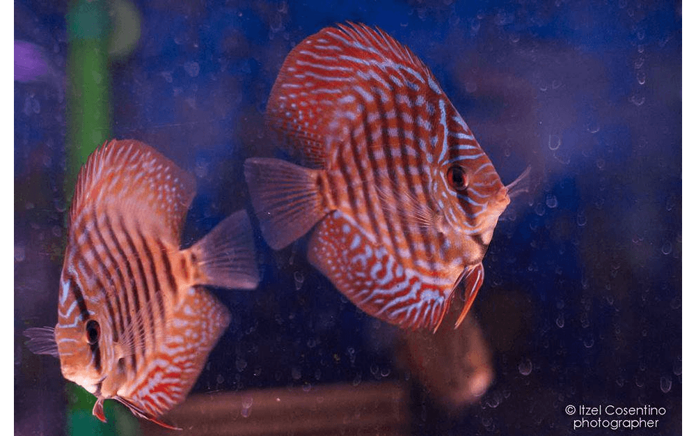 Discus, pesci discus, Stendker discus, allestimento acquari per Discus, Rieti