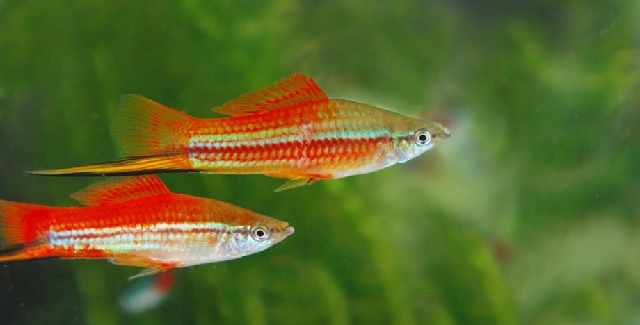 Pesce portaspada