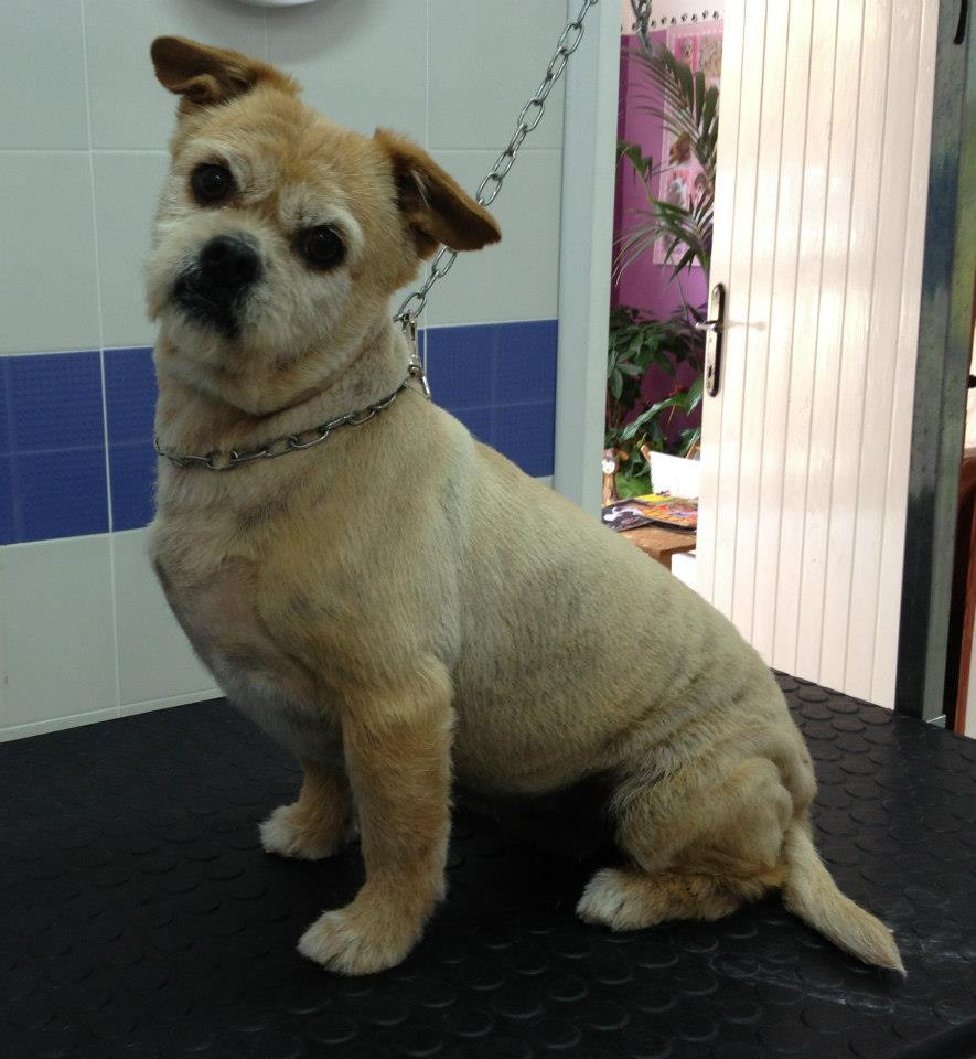 Un cagnolino di piccole dimensioni toelettato