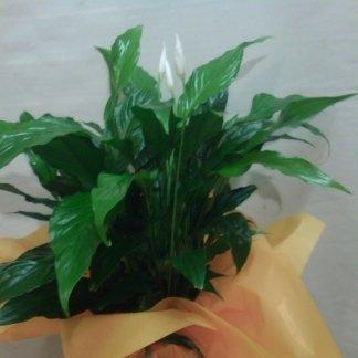 spathiphyllum bianco