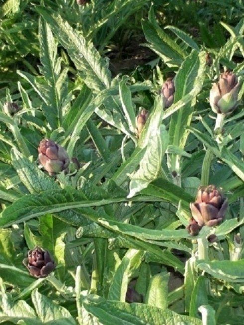 Primo piano pianta di Carciofo violetto di Sant'Erasmo