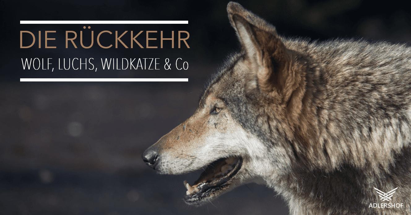 Rittergut Adlershof Umweltzentrum - Rueckkehr Wolf © 123rf