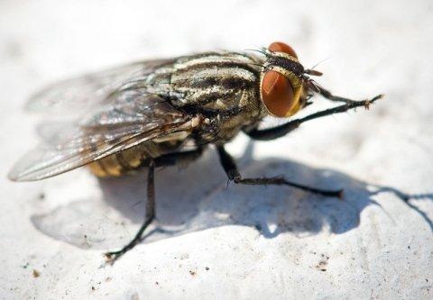 disinfestazione mosche