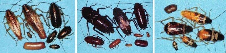 disinfestazione da scarafaggi