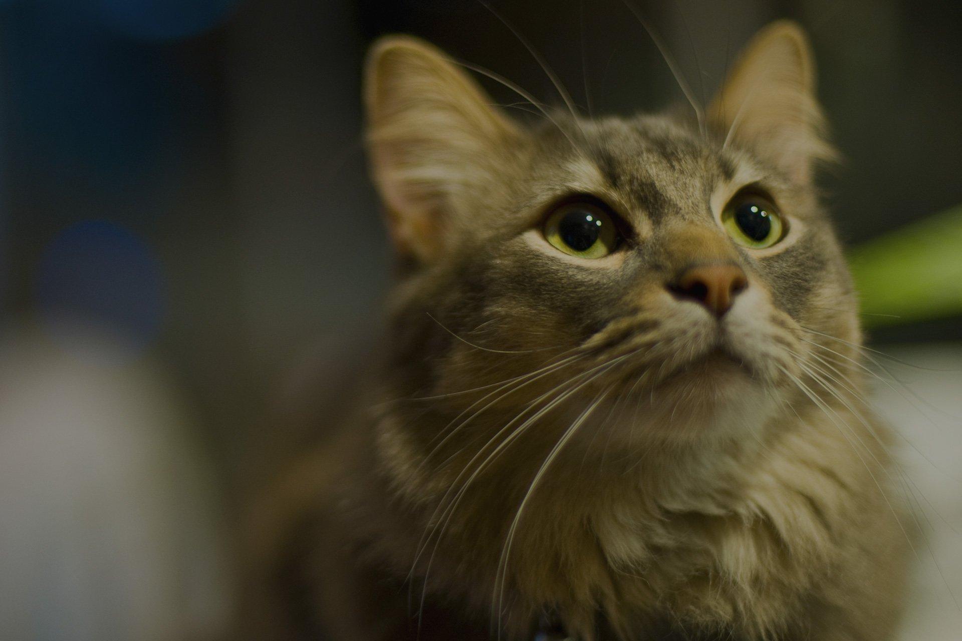 beautiful pedigree cat