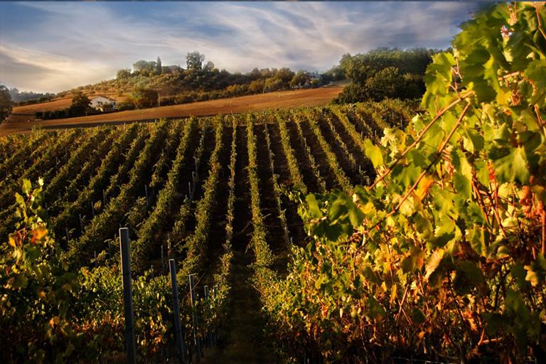 A vineyard in the Chianti
