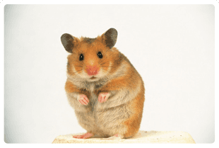 hamster standing up