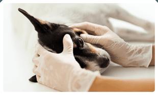 dog having an eye examination