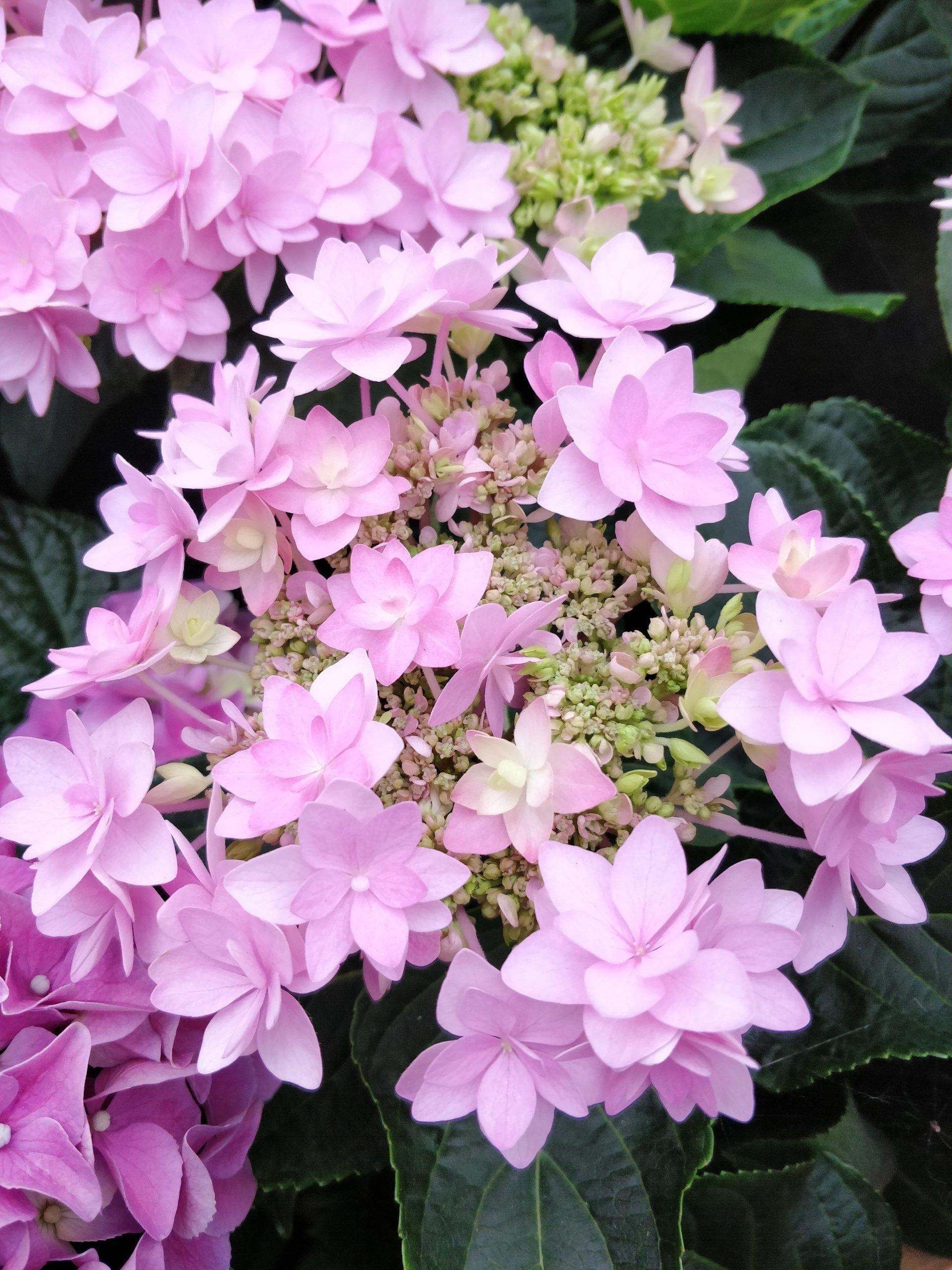 Scarlatta piante da interno biella serra fiori - Azalea da interno ...