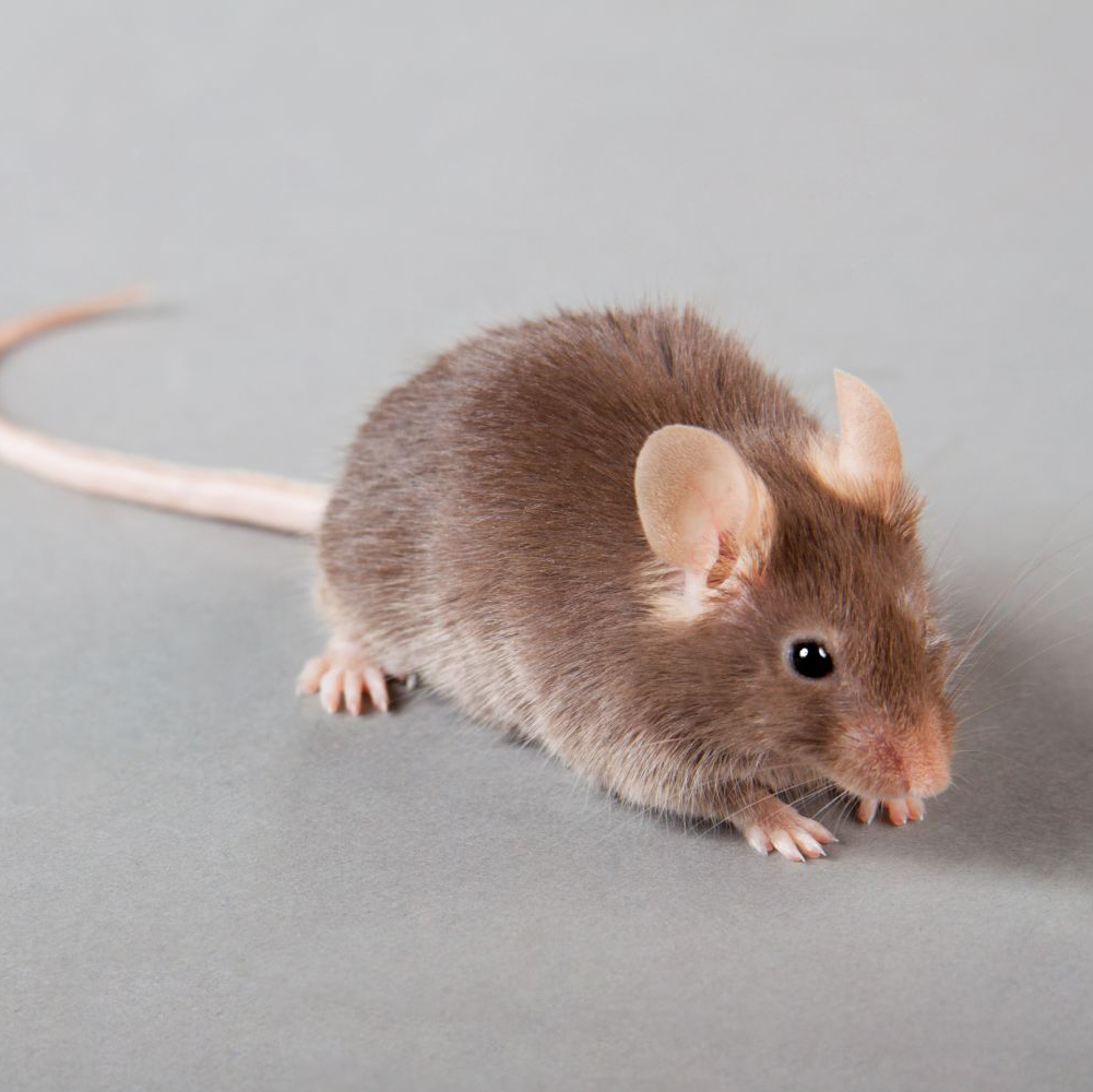 Residential pest control rodents in Branson, MD