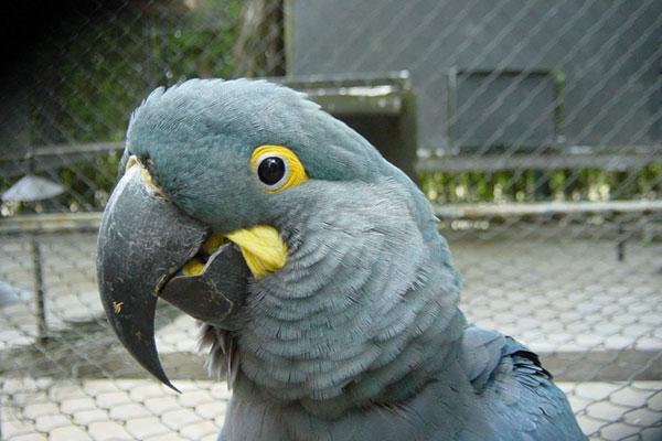 un pappagallo grigio