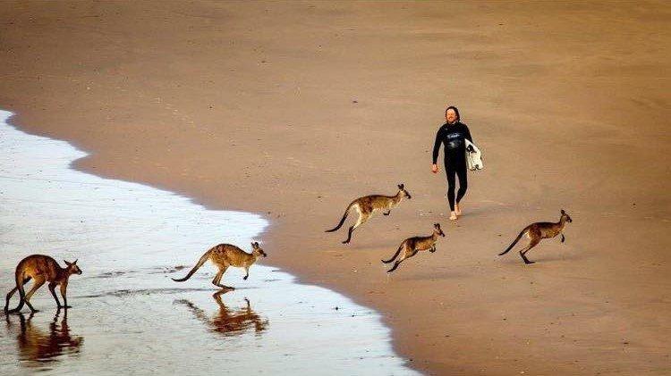 canguri sulla riva australiana e un serfista