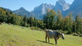 pascolo di mucche