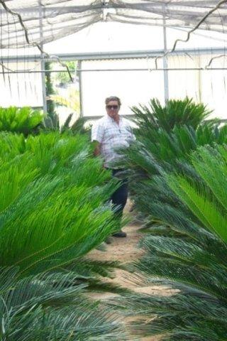 vendita palmizi
