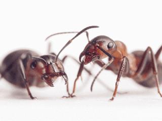 disinfestazione di formiche