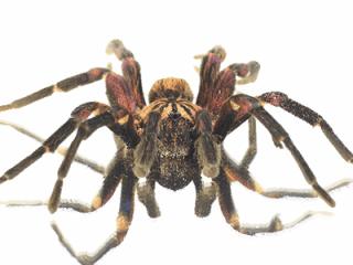 disinfestazione di ragni