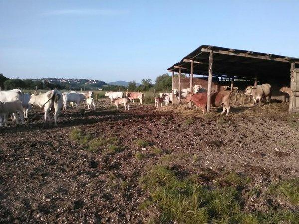 Mucche al pascolo  presso Azienda Agricola Marco Spallacci Castelleone di Suasa (AN)