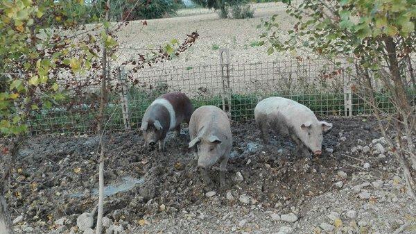 Maiali presso Azienda Agricola Marco Spallacci Castelleone di Suasa (AN)