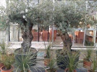 delle piante e due alberelli in  vaso