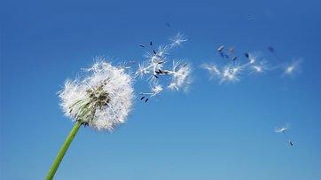 un fiore pioppo