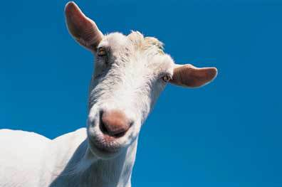 A white dairy goat