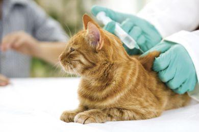 un medico che effettua un'iniezione ad un gatto