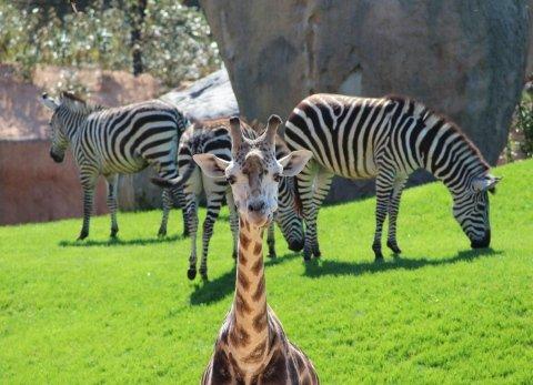 zebre e giraffa allo zoo