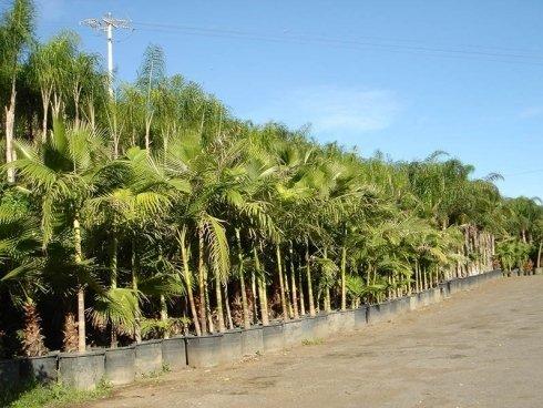 Boschetto di palme