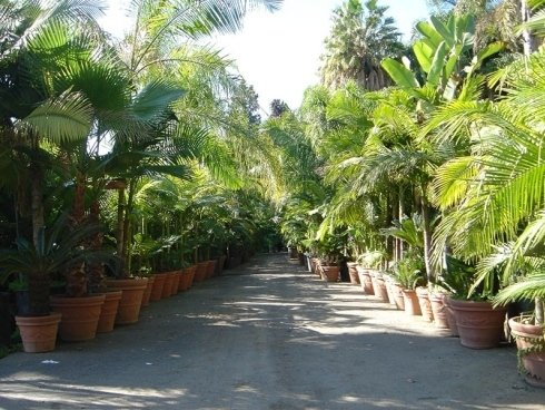 Row of potted palms