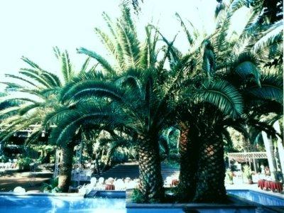 Palme di piccole dimensioni in giardino con altri alberi, piscina e decorazioni