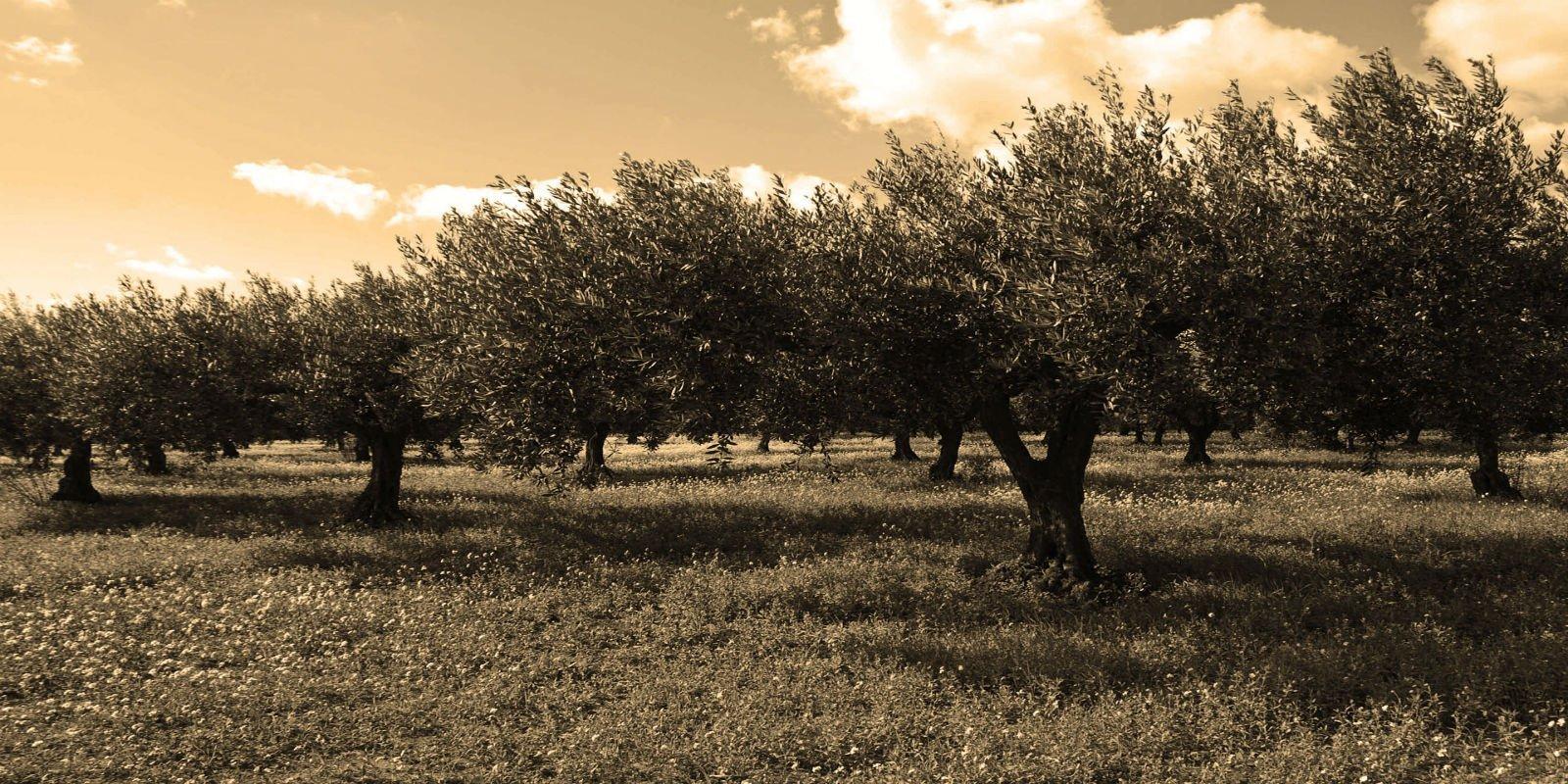 L'oliveto al tramonto
