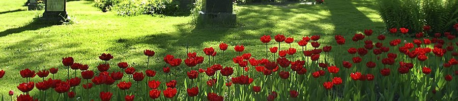 Poppies growing in the cemetry