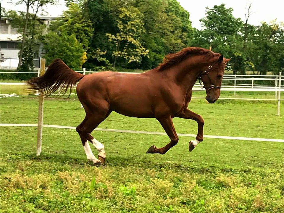 Cavallo che corre in un prato