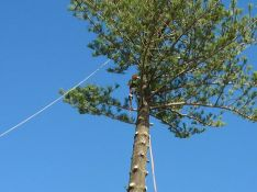 kiwi tree lopping tree removal