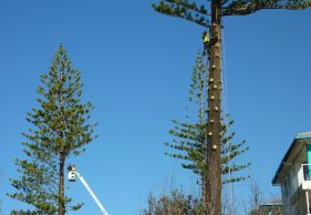 kiwi tree lopping permits