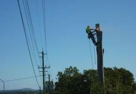 kiwi tree lopping tree