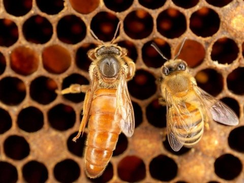 Allevamento di api regine