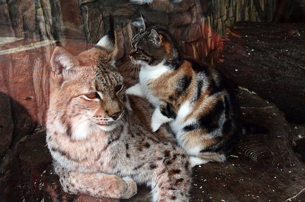 cat-sneaks-into-zoo-befriends-lynx-funny-inspirational