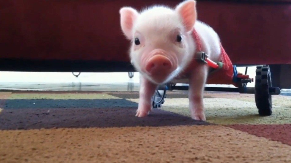 chris-p-bacon-pig-wagon-bionic-adorable-inspirational