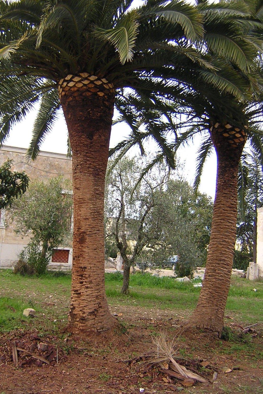due palme potate in un giardino