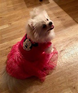 minnie-mouse-dress-pomeranian