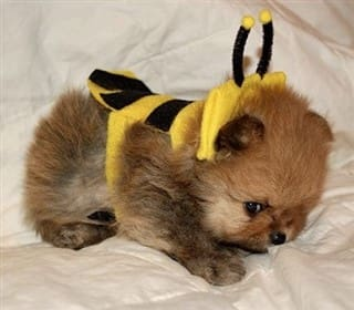 Pom puppy in bee costume