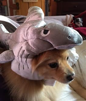 Pomeranian in shark costume