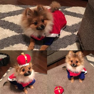 Pomeranian dressed as a king